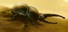Scarabax-kuoriainen