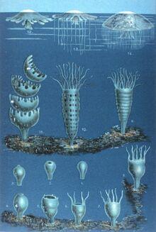Schleiden-meduse