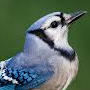 Blue Jay Icon