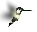 Colibrí Negro