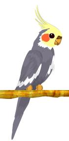 Cacatúa ninfa