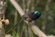 Female ribbon tailed astrapia