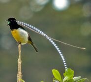 King of Saxony bird-of-paradise Pteridophora alberti