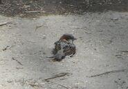 House sparrow dustbathing