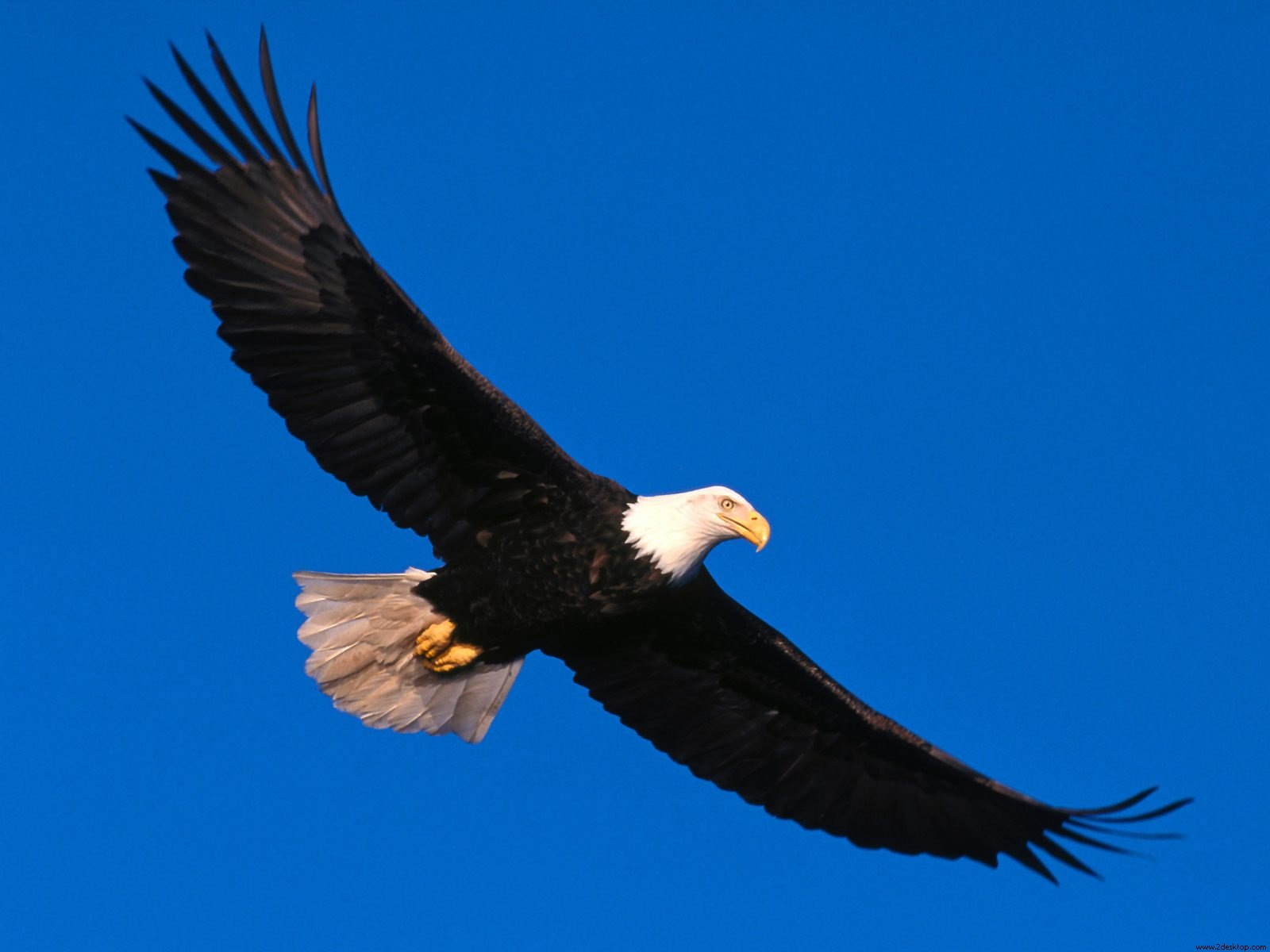 A Bald Eagle Soaring Into The Sky With An Empty Deck Of Cruise Ship Background