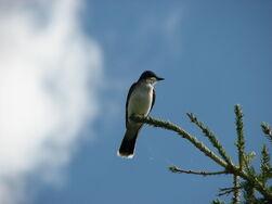 Ekingbird-9661
