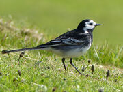 Pied Wagtail P1250682