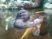 Mandarin Duck 02
