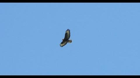 Common Buzzard Hovering and Attacking Prey