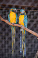 IMG 5489 Macaws, Parrots.jpg