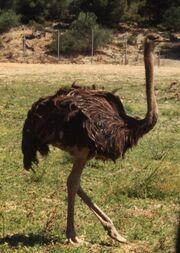 427px-Ostriche3