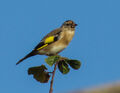 Young goldfinch.jpg