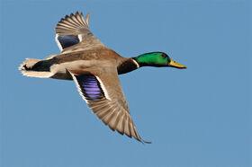 Mallard-flight