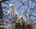 Great egret chicks with parent in nest-198.jpg
