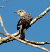 Oriental Cuckoo Maiala