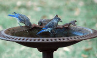Bluebirds enjoy bath