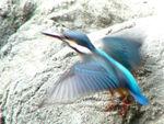 Kingfisher flight-3103
