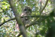 Chouette hulotte Strix aluco Tawny Owl