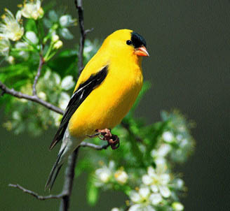 american goldfinch birds wiki fandom powered by wikia