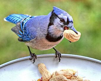 Blue Jay Birds Wiki Fandom