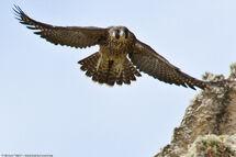 Peregrine falcon fledgling-4371