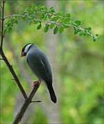 Java sparrow-7941