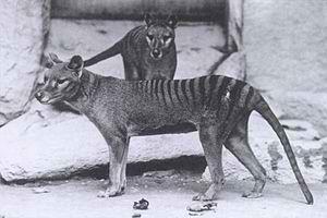 Lêer:Thylacinus.jpg