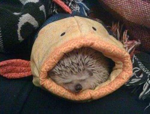 File:Cute-hedgehog-6.jpg