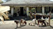 Barlow House goats