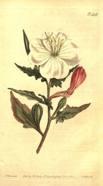 Oenothera tetraptera kankalintestőrség