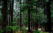 Forest 1 wallpaper