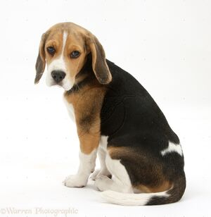 28397-Beagle-pup-sitting-and-looking-round-white-background