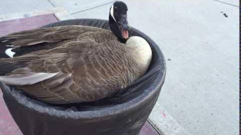 HISSING GOOSE IN A FLOWER POT