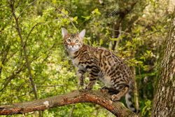 76715157-Bengal-Cat-Hunting-outdoor-on-branch-tree-Nature-green-background-Stock-Photo