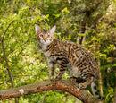 Cheetahpaw