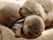 Newborn-otter