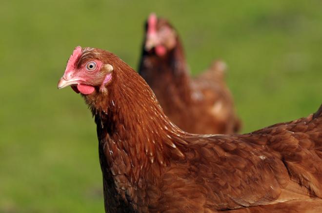 Hen-chicken-flickr-sk8geek