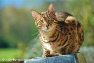 Bengal-cat-in-sun