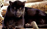 Panther (1)