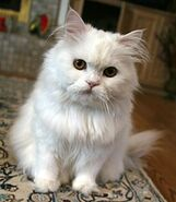 220px-White Persian Cat