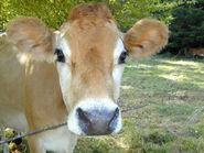 52 MjI2pretty cow1