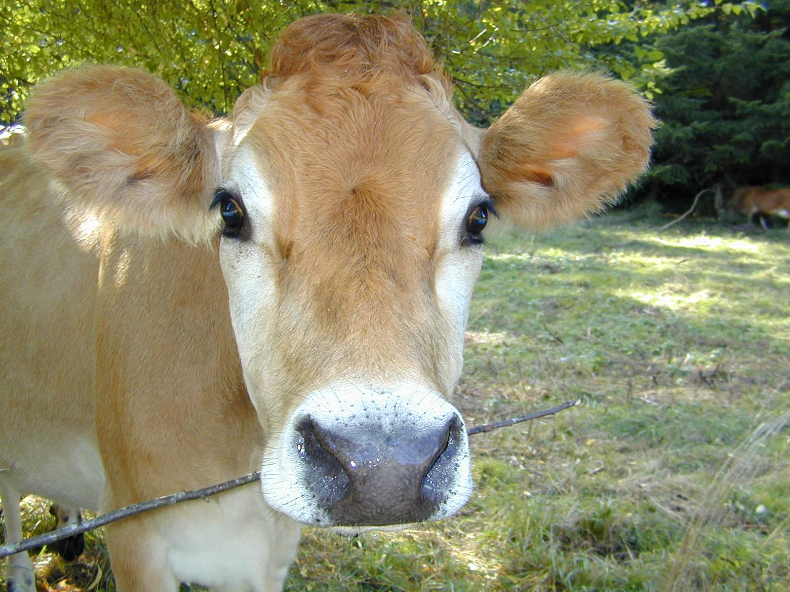 Image 52 Mji2pretty Cow1g Blogclan 2 Wikia Fandom Powered