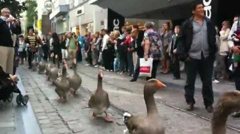 Geese Parade in Belgium