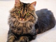 Maine-coon-cats-and-kittens-1