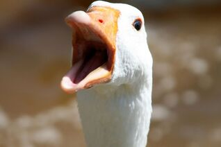 Goose-face-close-up-poultry-feathered