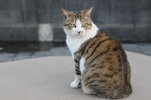Brown and white tabby cat with green eyes-Hisashi-01