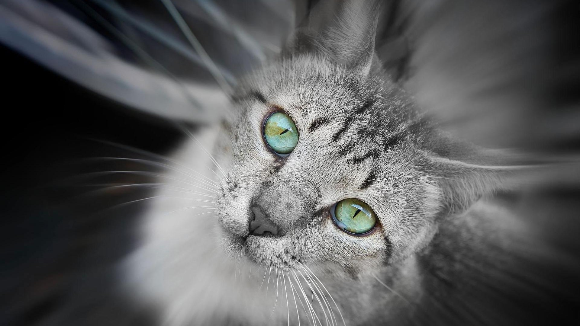Image Grey Cat with Green Eyes Wallpaper
