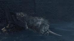 Rat №2