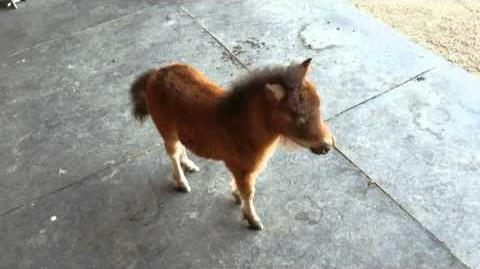 Baby miniature horse chasing me