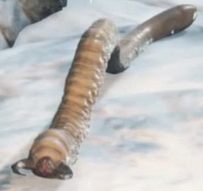 Hateful-Maggot-Closeup